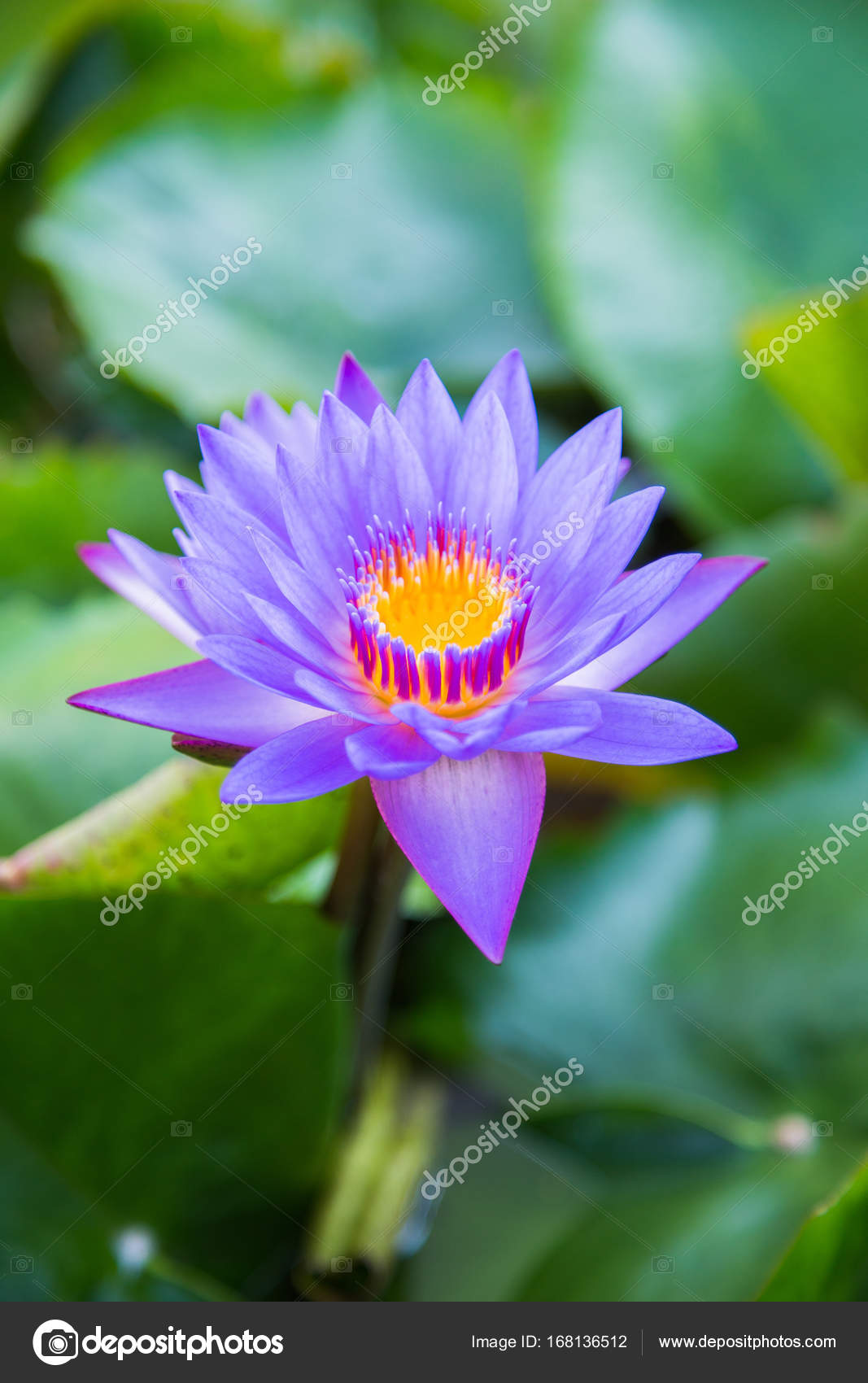Lotus Flower In Pond At Marina Bay Front Singapore Stock Photo