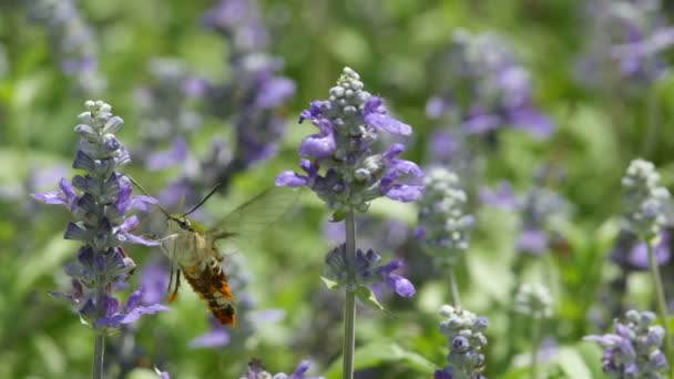 Hummingbird moth drinking nectar