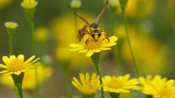 Potter wasp sbírají nektar z Dahlberg sedmikráska květ