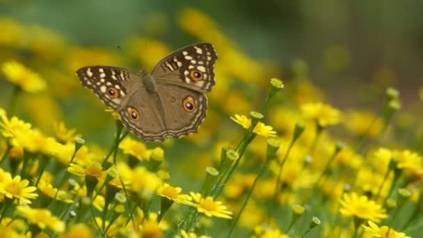 štětce footed motýl na Dahlberg sedmikráska květ