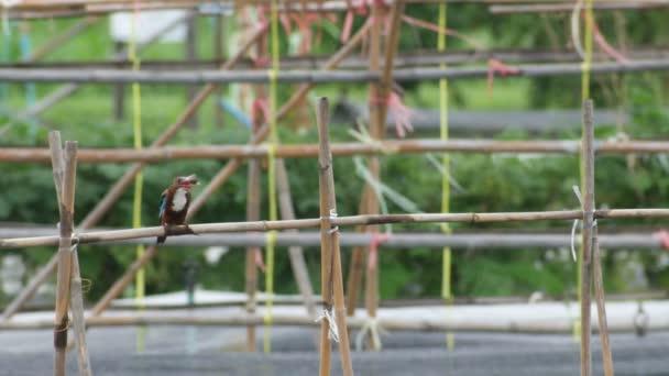 Weiße Throated Eisvogel Vogel Essen Und Ruhen Auf Der Bambus Bar