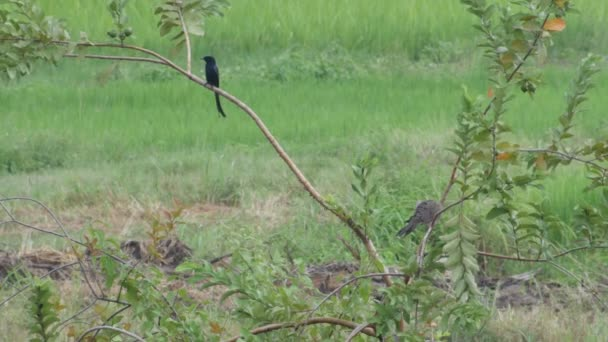 Hrdlička kropenatá a černé dronga guava strom
