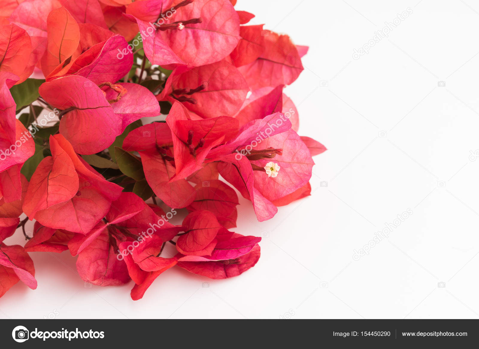 fleur de bougainvillier. bougainvillier rose bloom — photographie