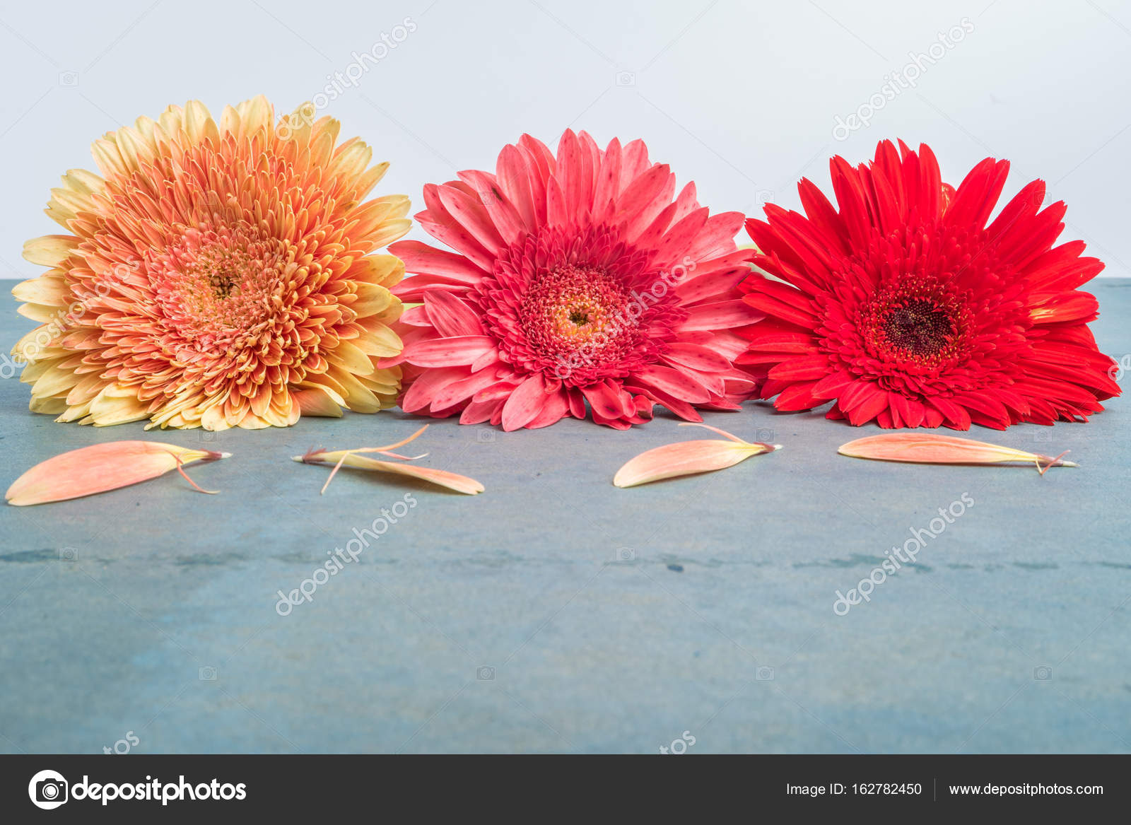 Lovely gerbera daisy flowers on turquoise shabby chic background ...