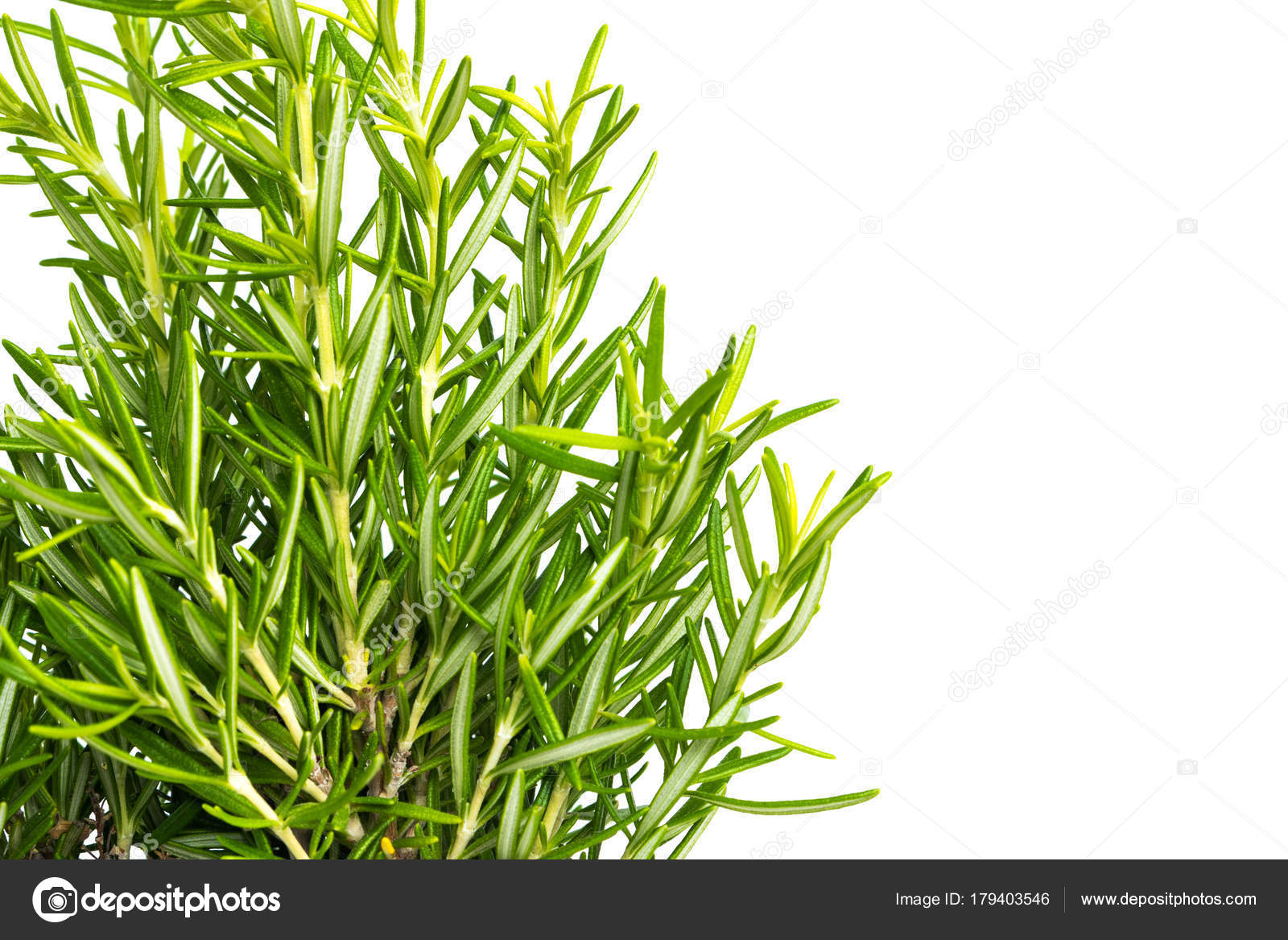 herbe de thym frais. plantes de thym frais arômes biologiques de