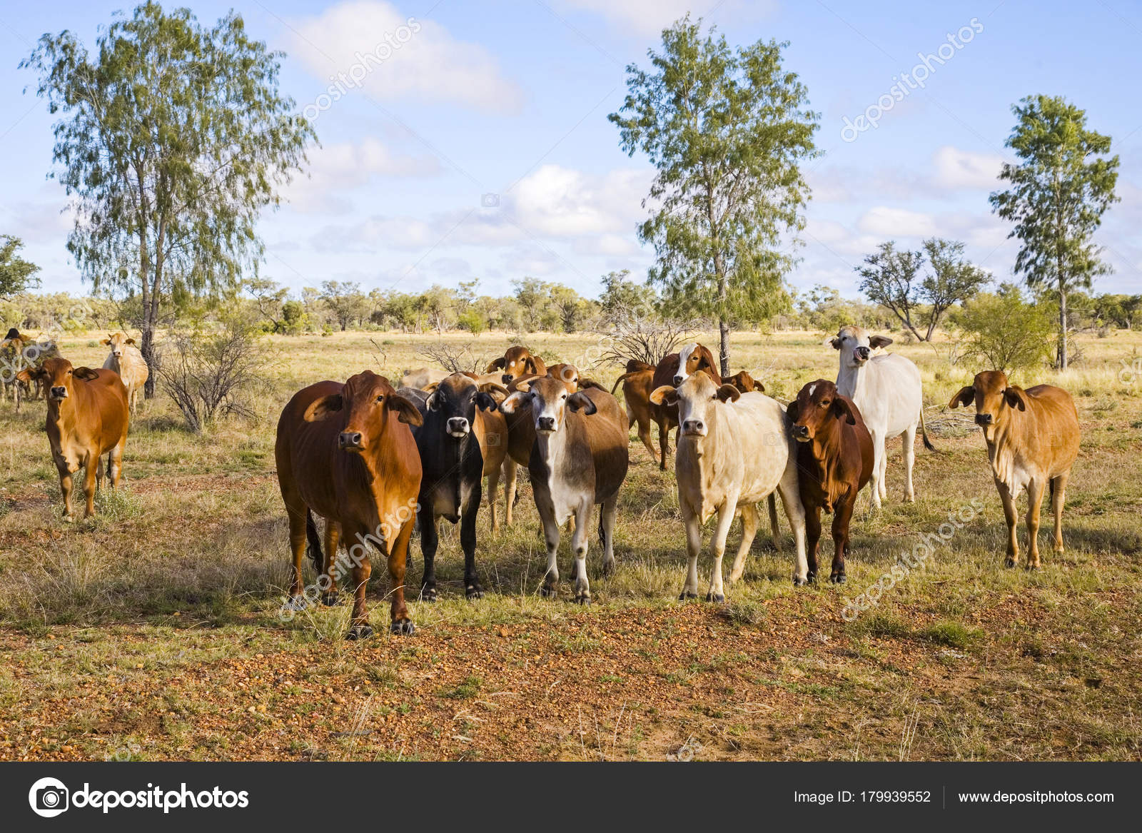 Herd Of Brahman Cattle In Outback Queensland Stock Photo