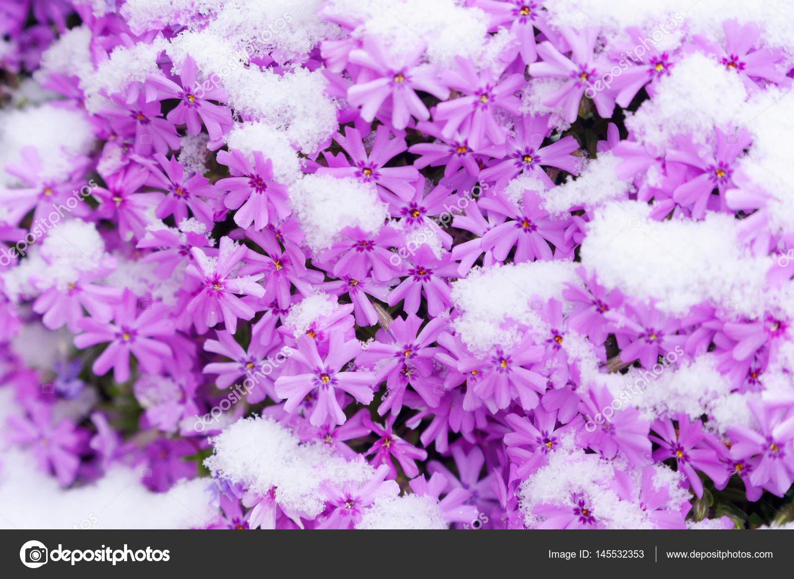 Flowers and snow \u2014 Stock Photo © kzlobastov 145532353