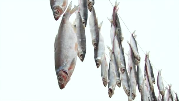 cured fish hanging in the fresh air