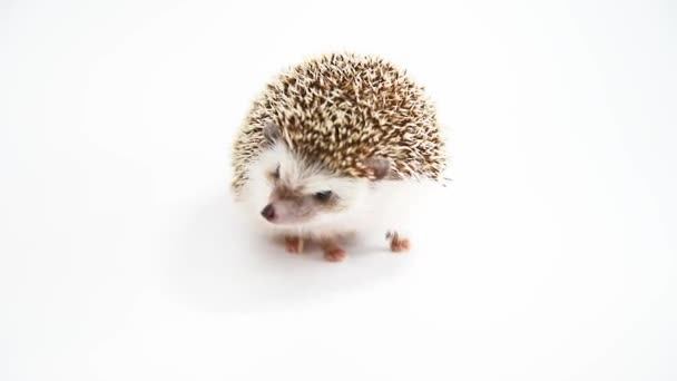 A hedgehog walking over white background.