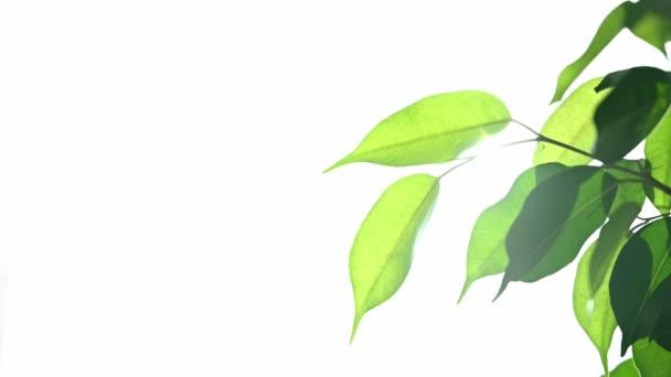 Környezetbarát koncepció, ragyogó napfény a zöld leveleken keresztül.