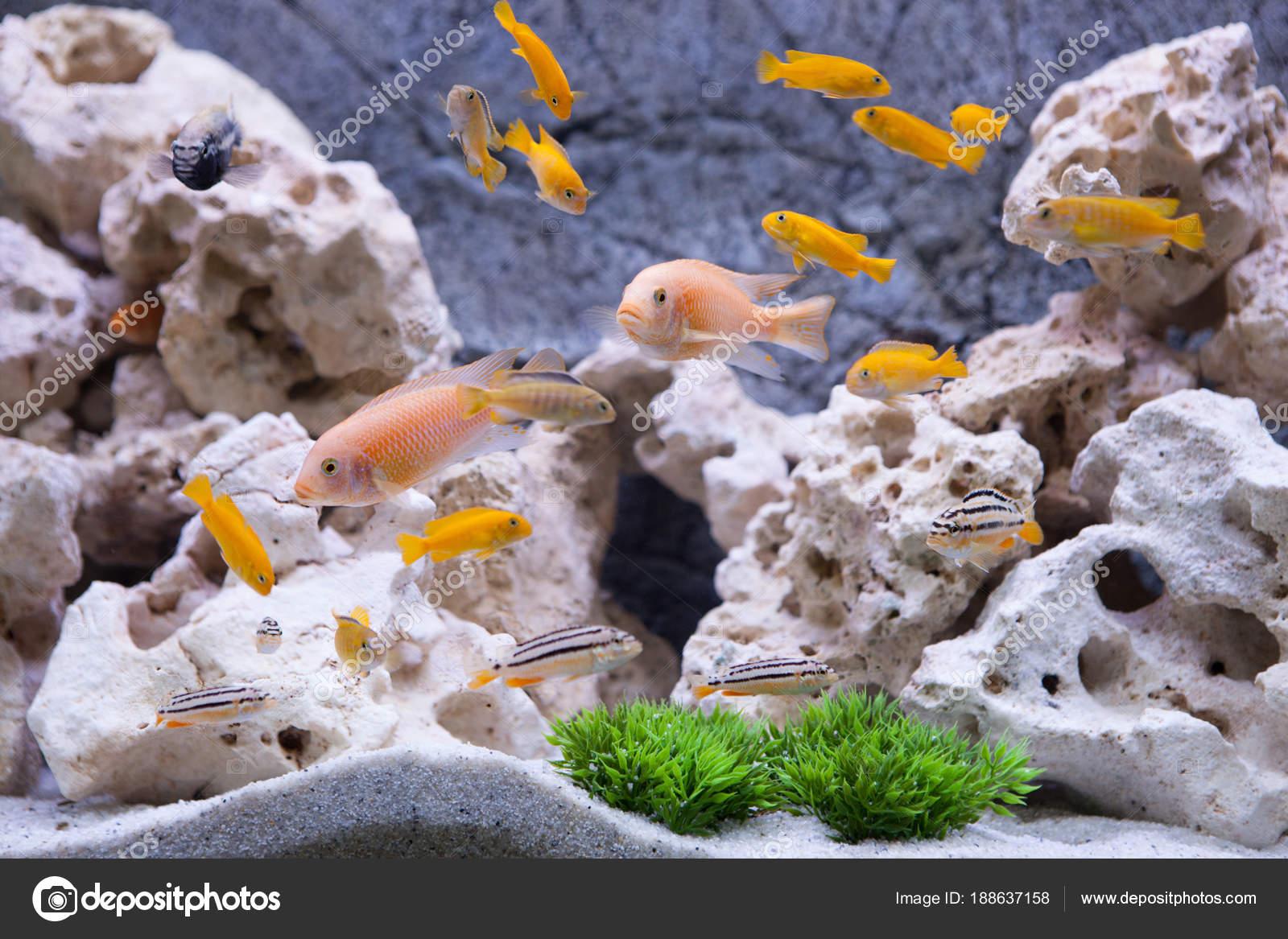 Akwarium Z Rybami Pielęgnice Z Jeziora Malawi Zdjęcie Stockowe