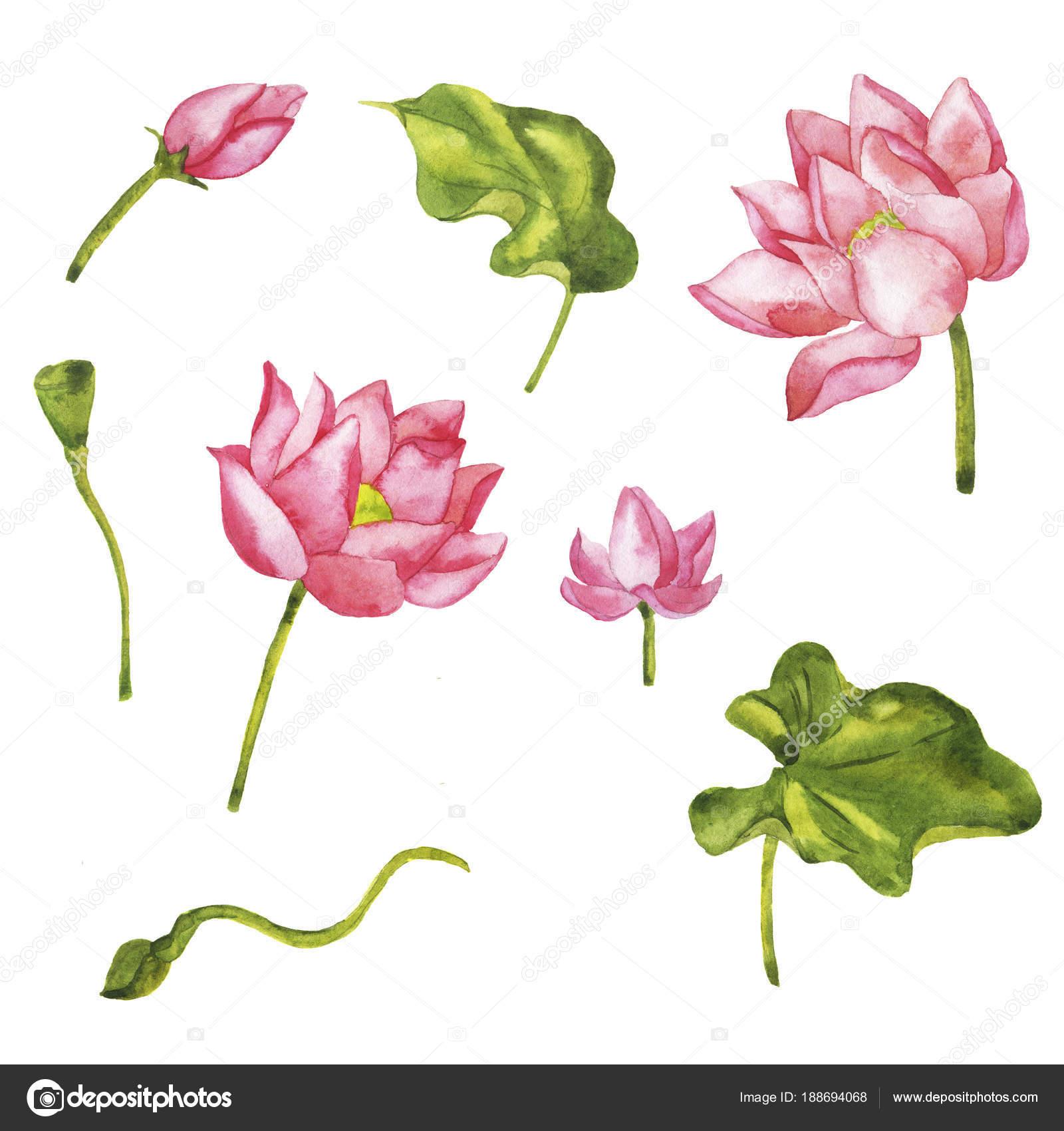 Watercolor Painting Wild Pink Lotus Flowers Seamless Pattern White