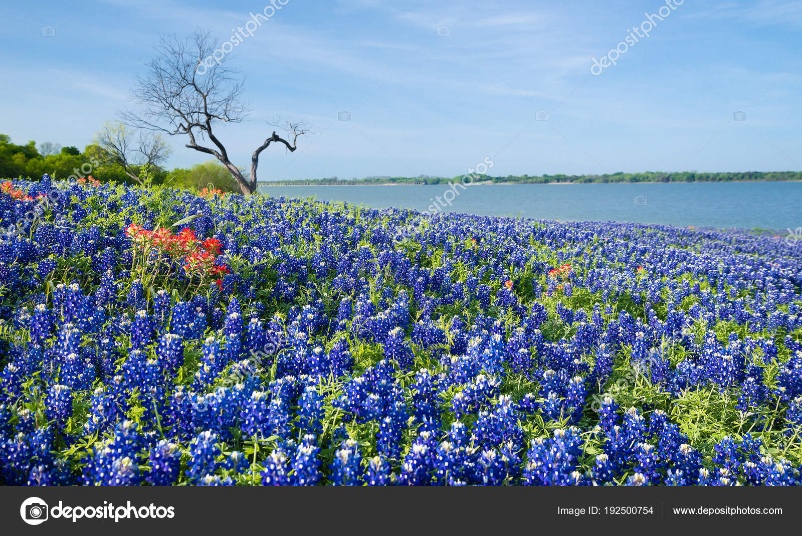 Texas Bluebonnets Blooming By A Lake In Spring Stock Photo