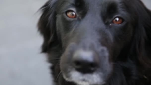 A close up of a border collie cross labrador