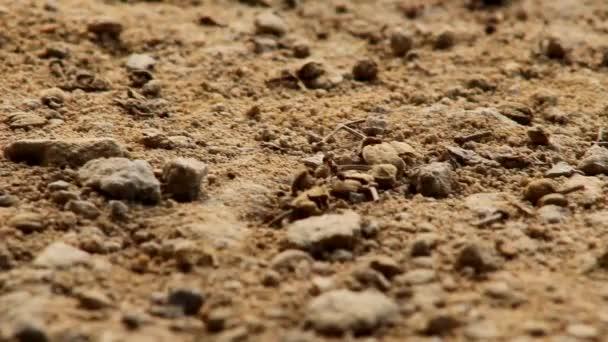Detail mravence přepravu jiného mravence při chůzi na písku