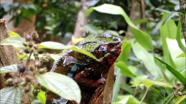 Barevný Chameleon Panther sedí na větvi, záškuby očí