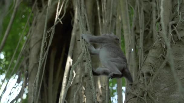 Ein Makakenaffe schwingt und springt zwischen Ästen und Reben