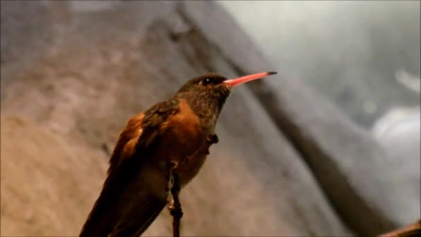 An Amazilia hummingbird sitting on a branch and shows his tongue