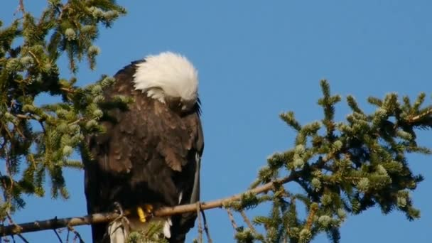 bald eagle cleaning its feathers