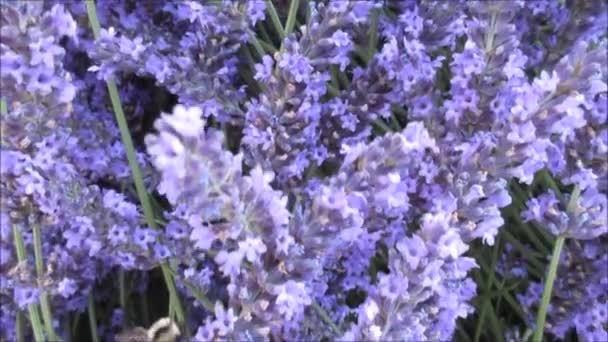 bumble bee flying about a collection of lavender flowers