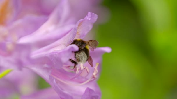 bumblebee taking nectar from a pink flower