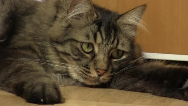 Domestic longhaired tabby cat playing in front of wooden door