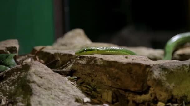 green snake slithering through his vivarium