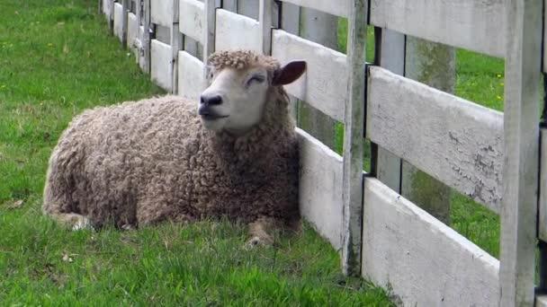 ovce žvýká jeho jídlo při odpočinku proti bílé farma plot