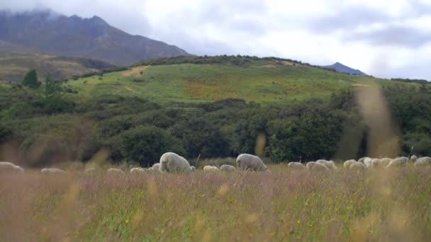ovce na pastvě tráva, vlající ve větru