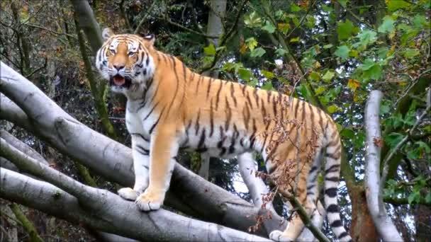 Sibiřský tygr stojící na velkých větví