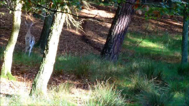 Some fallow deers running away