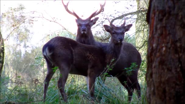 Some male Sika Deers standing on a little hill