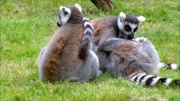Three ring tailed Lemurs sitting in the grass