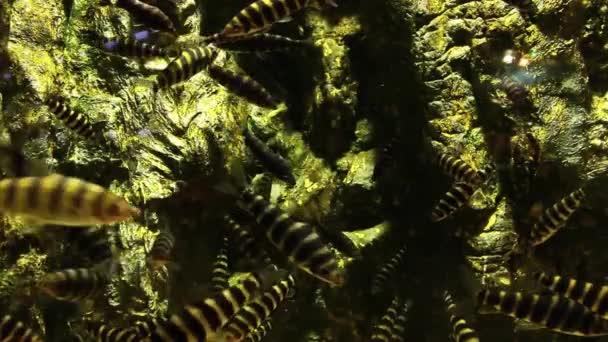 Tygřích ryb v nádrži