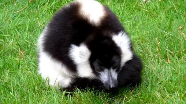 unavené černé a bílé ruffed lemur, kterým se v trávě