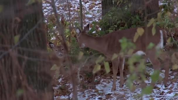 Sledování snímku laň a její šafáři v lese