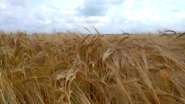 Wheat Field. Ears of wheat close up. Harvest and harvesting concept