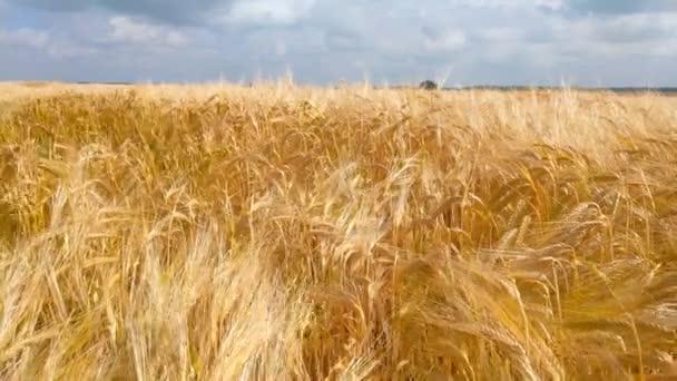 Wheat field. Golden ears of wheat on the field. Background of ripening ears of meadow wheat field.