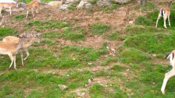 Vtipný jelen chodit na zelené pastviny a štípnout trávu.
