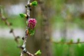 Flowering larch, in a beautiful natural background