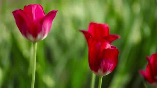 Bouquet of beautiful tulips
