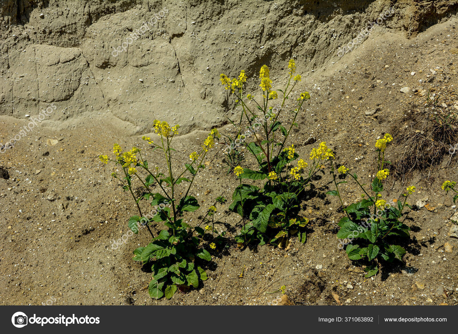 какие растения любят песчаную почву с фото тот год