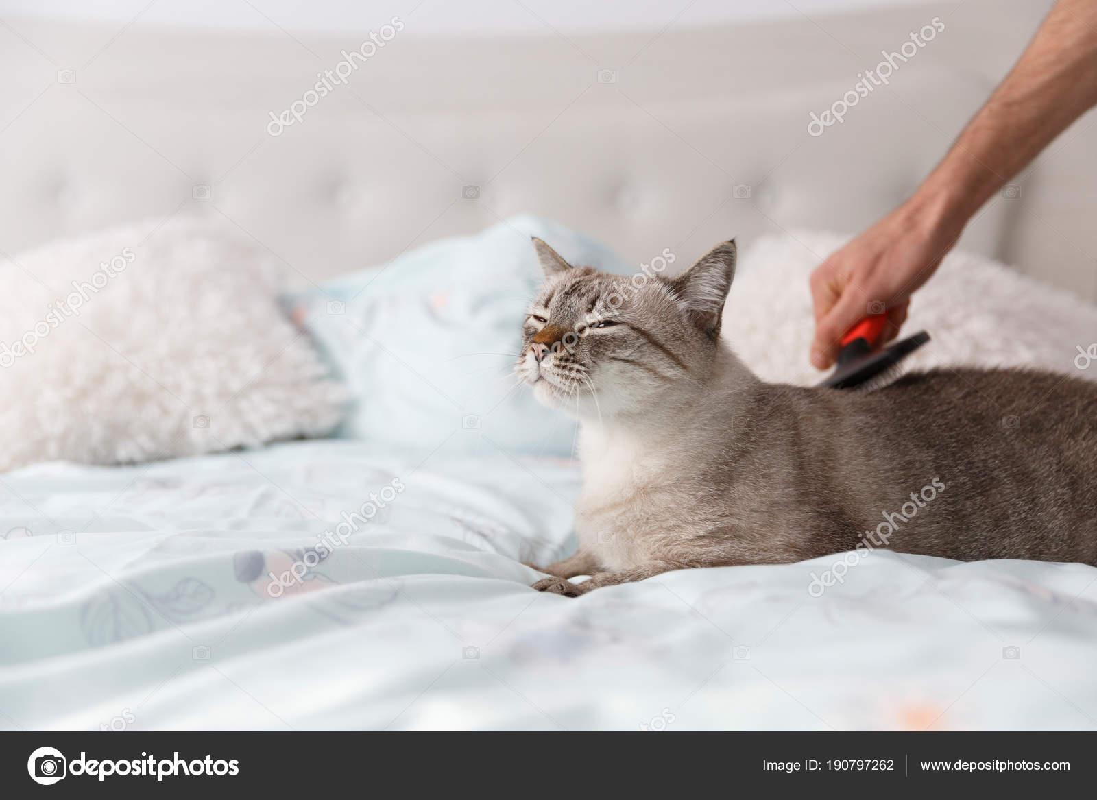 58cfcfb18312 Εσωτερική κοντή τρίχα γάτας σε χαλάρωση διάθεση. Ανθρώπινο χέρι να χαλάσει  την όμορφη γάτα με μια ειδική βούρτσα κατοικίδιων ζώων– εικόνα αρχείου