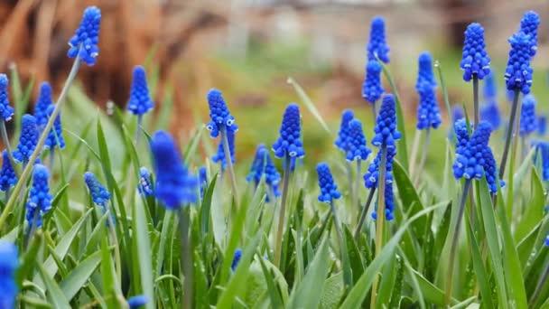 Blue flowers Muscari, shot with slider. Video. UltraHD (4K)