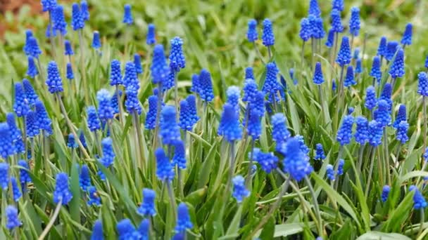 Blue flowers Muscari, shot with slider. Video. UltraHD (4K)