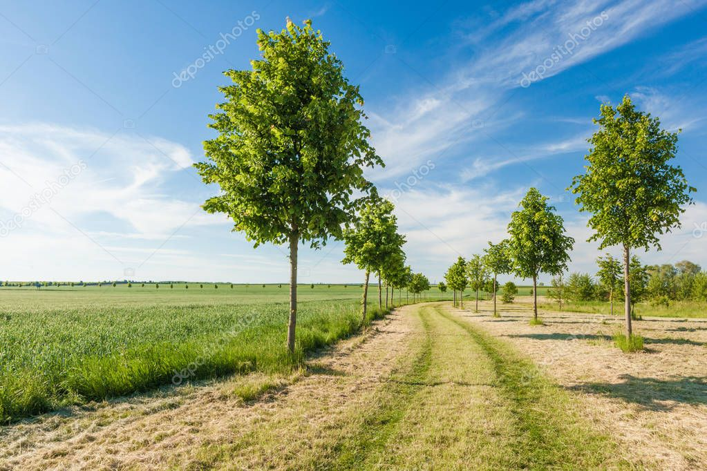 Green field and young trees bordering a path on a sunny summer day