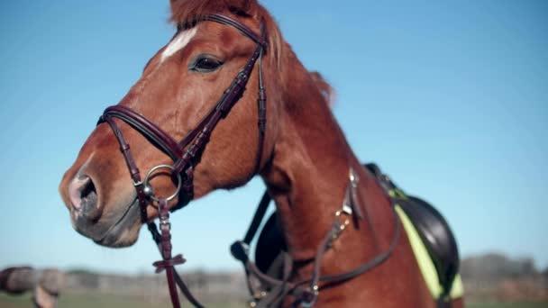 Krásný červený kůň stojí na vodítku slow motion 4k