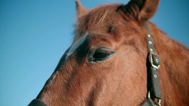 Červený kůň stojí na vodítku slow motion