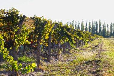 Beautiful fresh bunches of ripe grapes