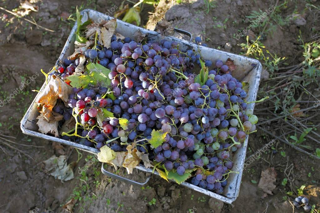 Grape harvest in Mendoza, Argentina